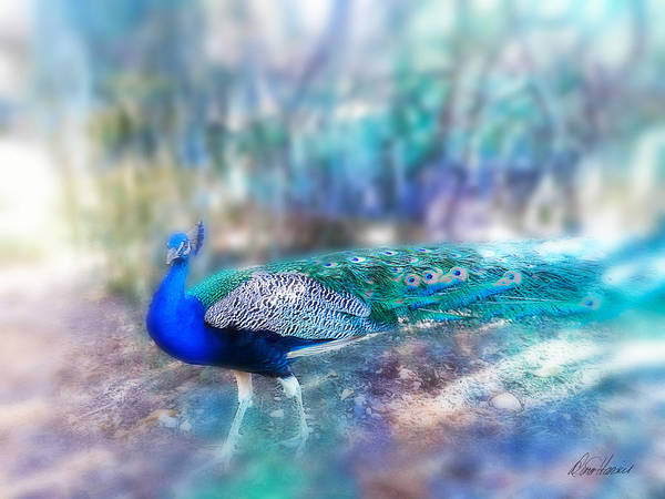 Photograph - Peacock In The Mist by Diana Haronis