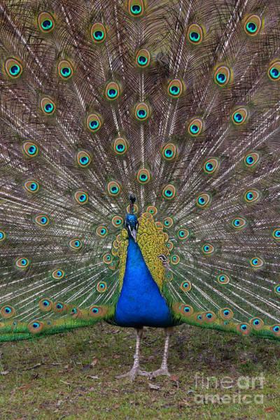Photograph - Peacock by Jaroslaw Blaminsky