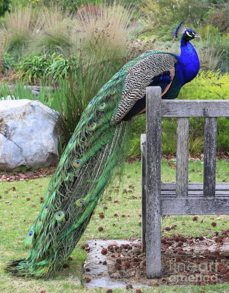 Peacock Photograph - Peacock by Nicholas Burningham