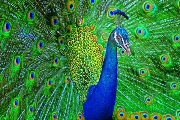 Coverts Photograph - Peacock by Nikolyn McDonald