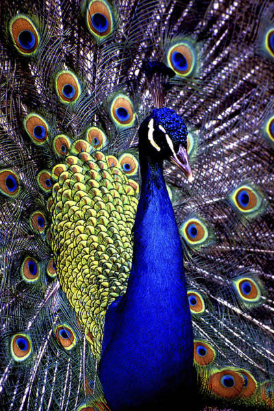 Photograph - Peacock by Paul W Faust -  Impressions of Light
