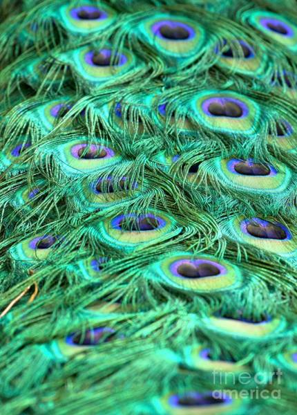 Photograph - Peacock Plumage Abstract by Adam Jewell