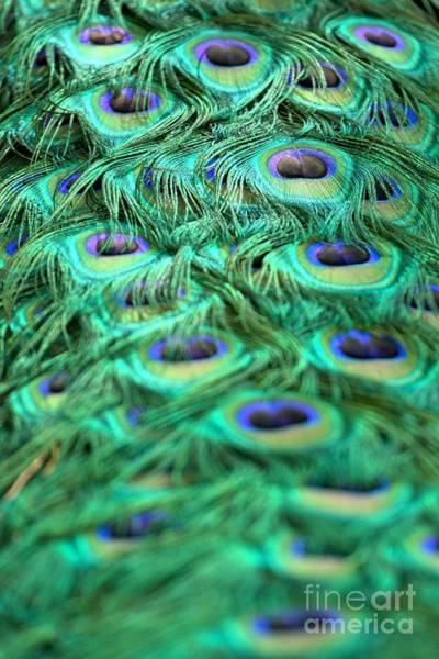 Photograph - Peacock Plumage by Adam Jewell