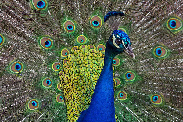 Photograph - Peacock Portrait by Jerry Gammon