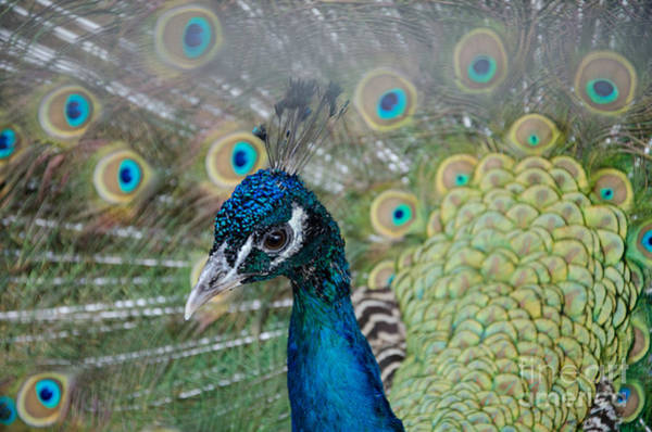 Peacock Portrait Art Print