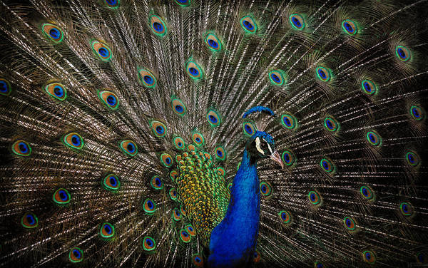 Photograph - Peacock Profile by Elaine Malott