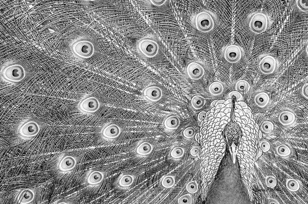 White Peacock Painting - Peacock by Ramona Murdock