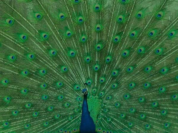 Wall Art - Photograph - Peacock by Art Spectrum