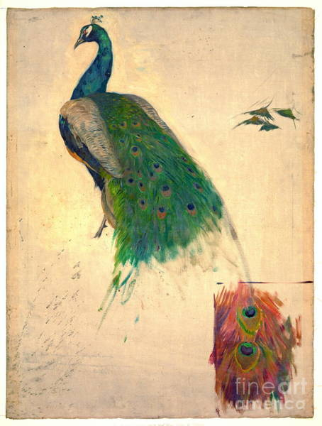1896 Photograph - Peacock Study 1896 by Padre Art