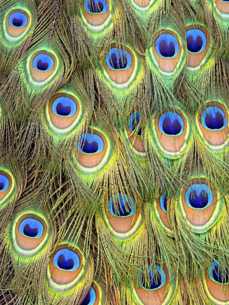 Photograph - Peacock Tail by Frank Wilson