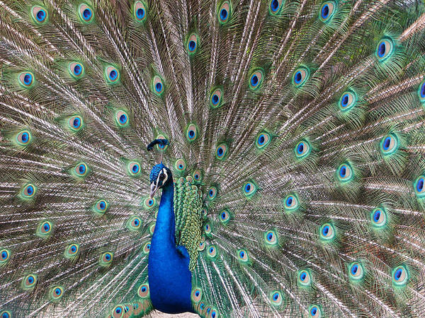 Photograph - Peacock Tail Gorgeous Feathers by Matthias Hauser