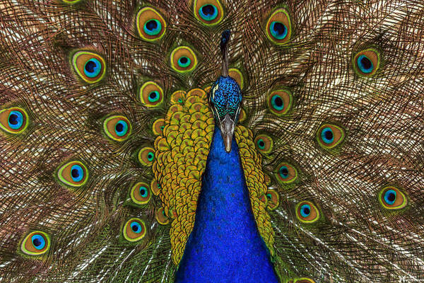Photograph - Peacocks by Elaine Malott