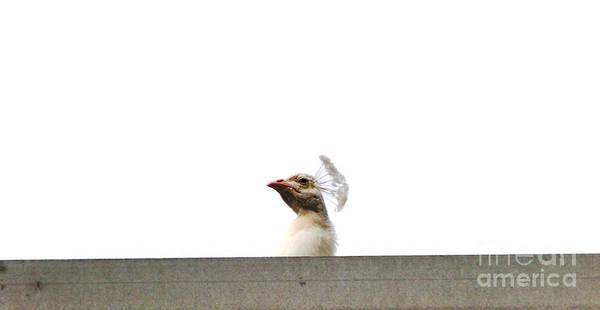 Photograph - Peacocks Point Of View by Ilona Svetluska