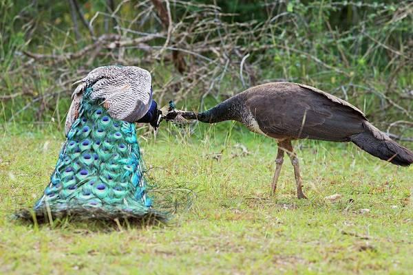 Ave Photograph - Peafowls Allopreening by Tony Camacho