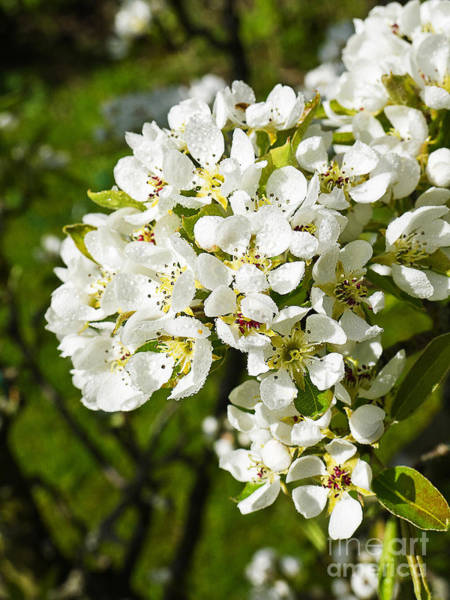 Photograph - Pear Blossom In English Garden by Brenda Kean
