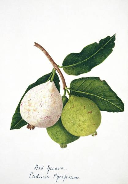 Wall Art - Photograph - Pear Guava Fruits by Natural History Museum, London/science Photo Library
