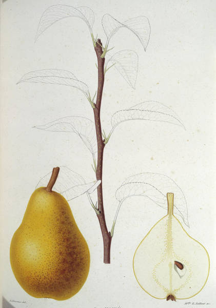 1863 Photograph - Pear by Natural History Museum, London/science Photo Library