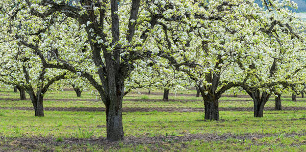 Mt Hood Photograph - Pear Orchard In Bloom, Mt Hood, Oregon by Panoramic Images