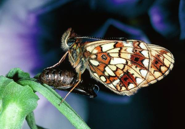 Imago Photograph - Pearl-bordered Fritillary by N K D Miller/science Photo Library