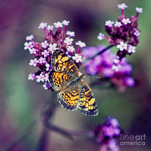 Photograph - Pearl Crescent Butterfly With Purple Verbena by Karen Adams
