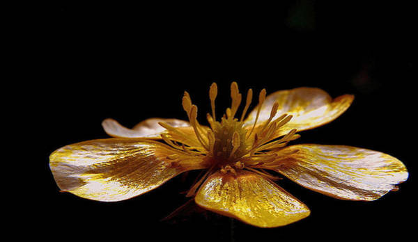 Photograph - Pearl Petals In Black by Suzy Piatt