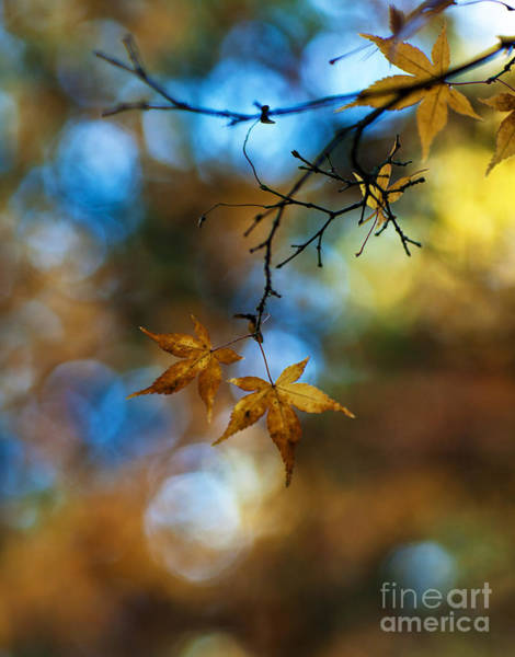 Dof Photograph - Pearlescent Acers by Mike Reid
