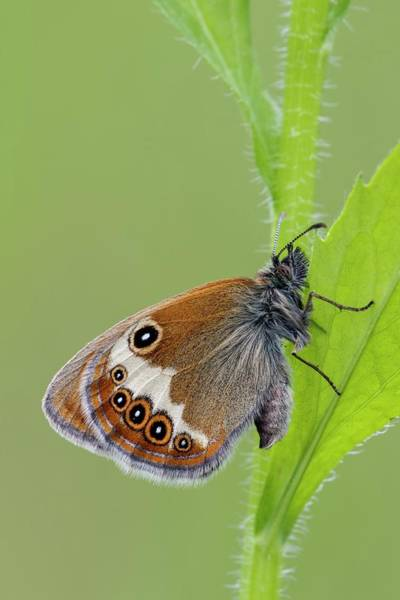 Imago Photograph - Pearly Heath Butterfly by Heath Mcdonald