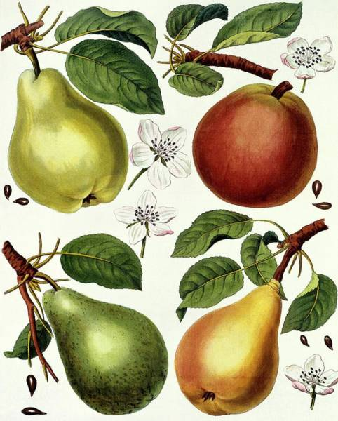 Wall Art - Photograph - Pears by Natural History Museum, London/science Photo Library