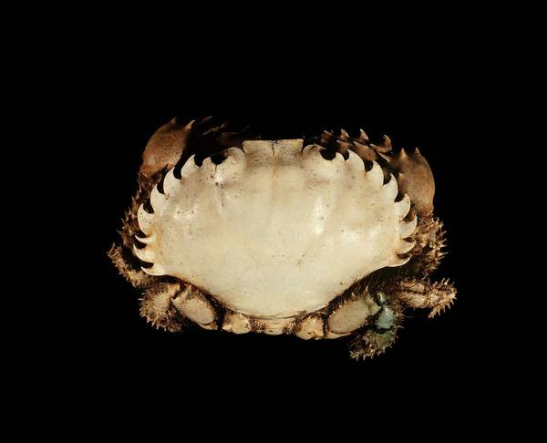 Chela Wall Art - Photograph - Pebble Crab by Science Photo Library