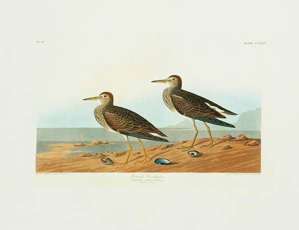 Wall Art - Photograph - Pectoral Sandpiper by Natural History Museum, London/science Photo Library