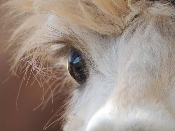 Wall Art - Photograph - Peek A Boo Alpaca by Helen Carson