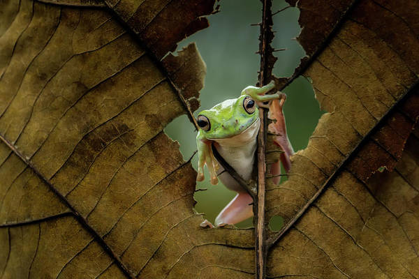 Frog Photograph - Peek A Boo by Andreas Karyadi