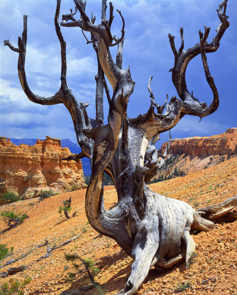 Photograph - Peek-a-boo Bristlecone by Ray Mathis