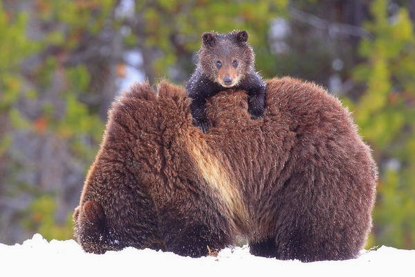 Grizzly Bears Photograph - Peekaboo Cub by Steve Hinch