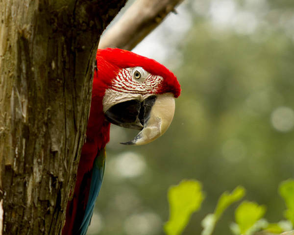 Zoo Wall Art - Photograph - Peekaboo Parrot by Frank Savarese