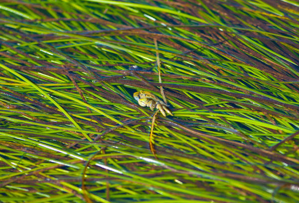 Wall Art - Photograph - Peeking Crab by Sarah Crites
