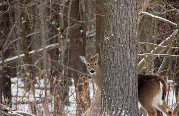 Mendon Photograph - Peeking Deer by Aimee L Maher ALM GALLERY