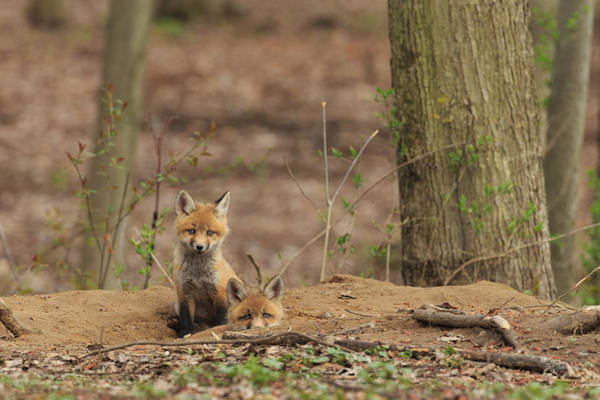 Wall Art - Photograph - Peeking From The Fox Hole by Everet Regal