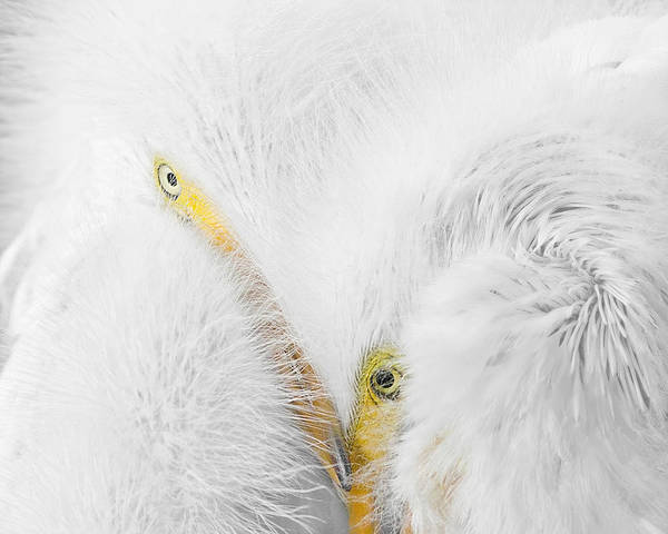 Photograph - Peering Thru Feathers by Dawn Currie