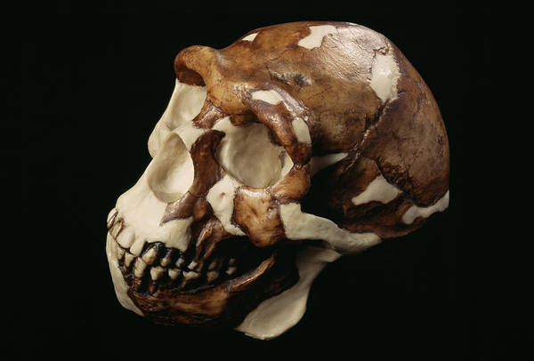 Wall Art - Photograph - Peking Man Skull by Pascal Goetgheluck/science Photo Library
