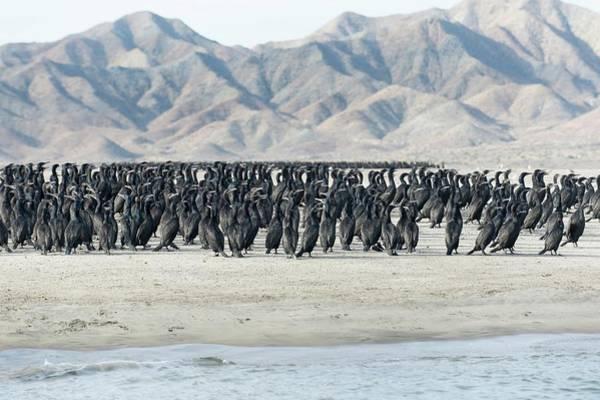 Isla Wall Art - Photograph - Pelagic Cormorants by Christopher Swann