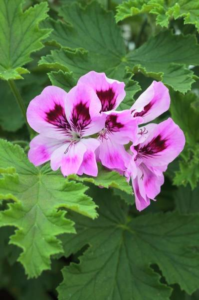Cerise Photograph - Pelargonium Orsett' by Geoff Kidd/science Photo Library