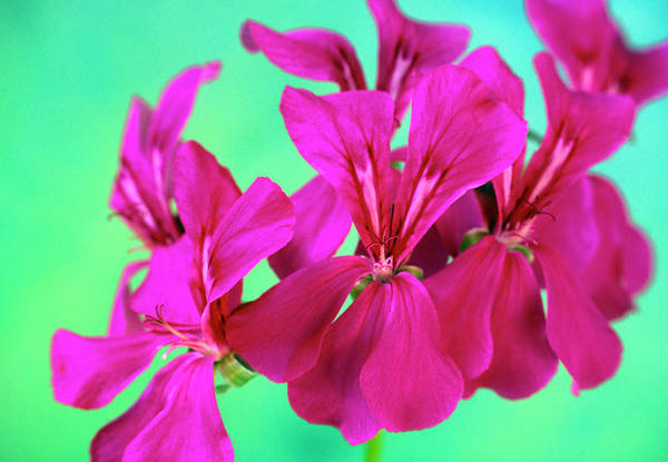Wall Art - Photograph - Pelargonium Peltatum 'summer Showers' by Ann Pickford/science Photo Library