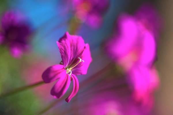 Wall Art - Photograph - Pelargonium Sericifolium Flower by Peter Chadwick/science Photo Library