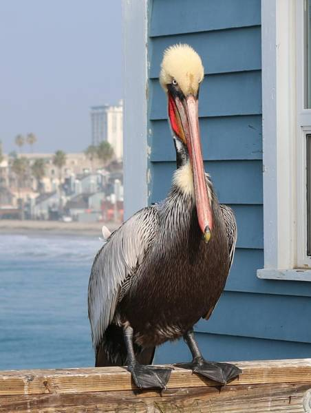 Photograph - Pelican - 4 by Christy Pooschke