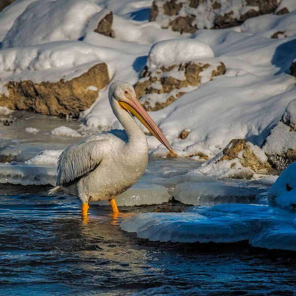 Bif Photograph - Pelican And Ice by Paul Freidlund