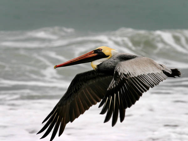 Wall Art - Photograph - Pelican by Anthony Jones