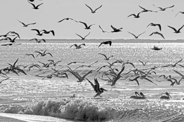 White Pelican Photograph - Pelican Chaos by Betsy Knapp