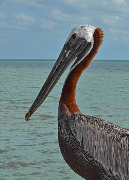 Photograph - Pelican  by Mae Wertz
