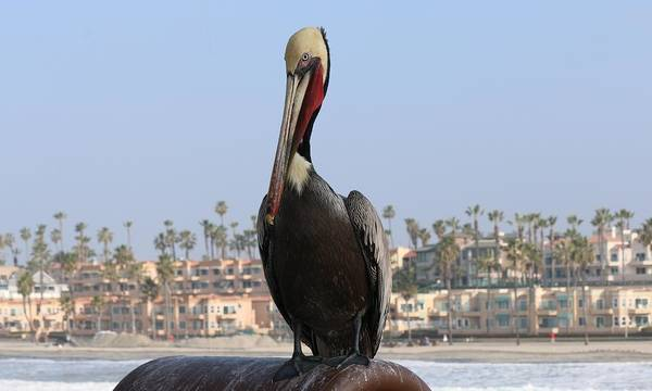 Photograph - Pelican  by Christy Pooschke